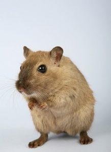 Podjęcie akcji zwalczania szczurów