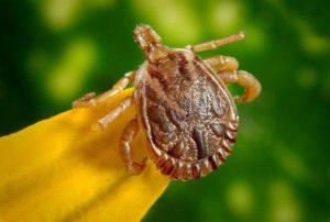 Kleszcz – badanie pod kątem boreliozy