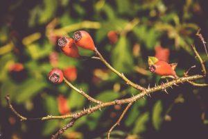 Read more about the article Dlaczego należy jeść proszek z dzikiej róży?